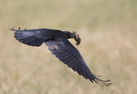 Common Raven/ Holló/ Corb/ Corvus corax